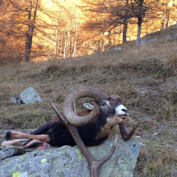 mouflon sheep hunting italy