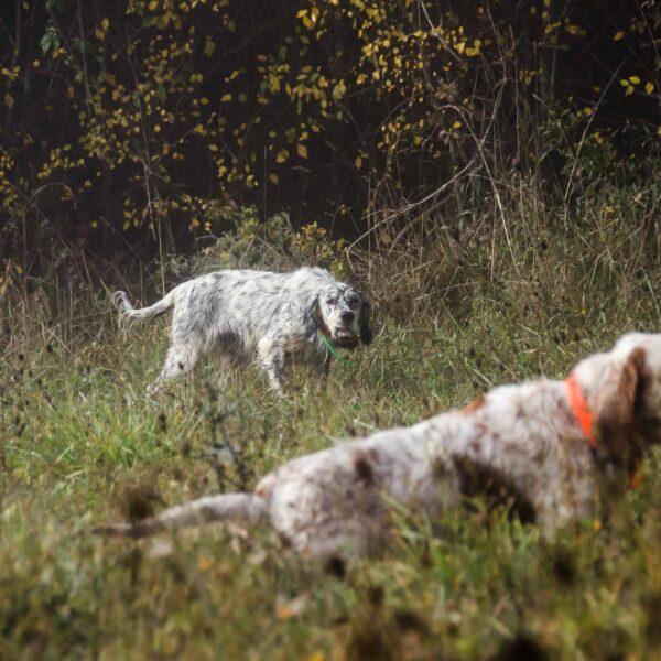 pheasant hunting italy