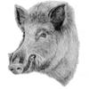wild boar icon